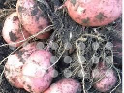 Семенной картофель 1 репродукция голландская селекция