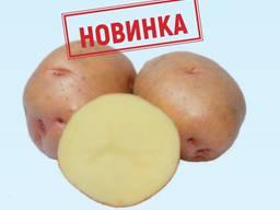 Семенной картофель Княгиня I репродукция, отправляем почтой