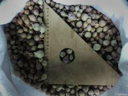 Семяна озимого чеснока Украинский так и зарубежной селекции