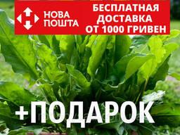 Щавель конский семена (около 200 шт) Rúmex confértus. ..
