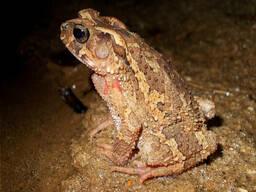 Шлемоголовая жаба