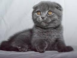 Скоттиш Фолд - Рикки, питомник(котенок)
