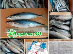 Скумбрія тихоокеанська 200-300 від 20-25 см. від 20 тонн