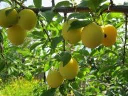 Слива алыча желтая, урожайная, мелкоплодная, рассада