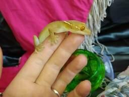 Смугастий гекон. Рептилія. Ящірка. Годівниця для ящірки.