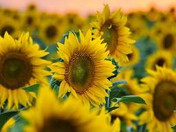 Соняшникове насіння Осман (під євро-лайтнінг)