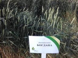 Сорт озимой пшеницы Богдана