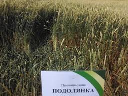 Сорт озимой пшеницы Подолянка