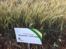 Сорт озимой пшеницы Золотоколоса