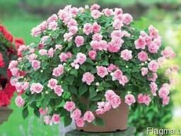 Сортовые махровые крупноцветковые бальзамины - 6 сортов