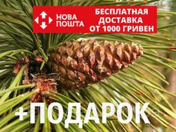 Сосна чёрная австрийская семена (50 шт) (Pinus nigra) для. ..