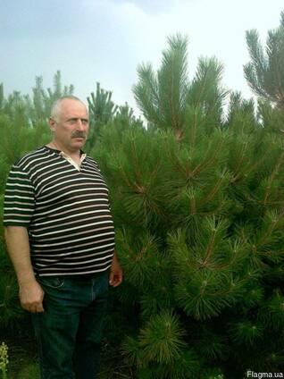 Сосна крымская, елка новогодняя