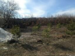 Сосна Крымская на пересадку и много других растений