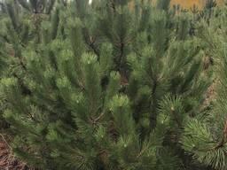 Сосна крымская новогодняя оптом - фото 3