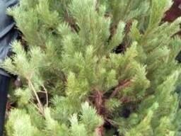 Живые елки оптом живая елка оптом живая сосна в Донецке