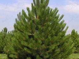 Сосна зеленая крымская с доставкой и высадкой