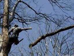 Спил деревьев в Кривом Роге