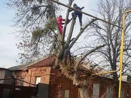 Спил, распил деревьев. Валка дерева. Спил аварийных деревьев