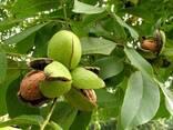 Срочно продам ореховый сад. Грецкий орех и фундук. - фото 2