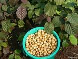 Срочно продам ореховый сад. Грецкий орех и фундук. - фото 5