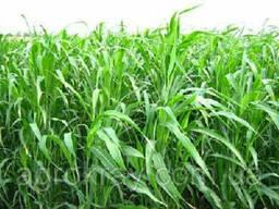 Суданка суданская трава семена от 1кг