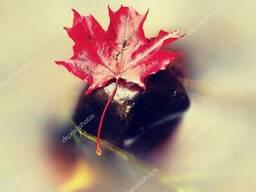 Сушенный лист клена
