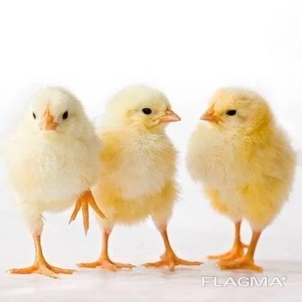 Суточные цыплята бройлер кобб 500