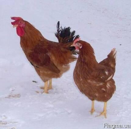 Суточные цыплята кур породы ТЕТРА-Н