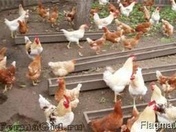 Суточные петушки цыплята