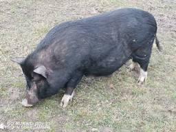 Мясо вьетнамских свиней Киев