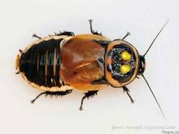 Таракан автомобильчик ( Lucihormetica verrucosa )