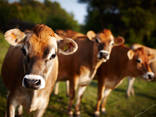 Телята высокопродуктивных молочных пород - фото 3