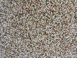 Тимофеевка семена