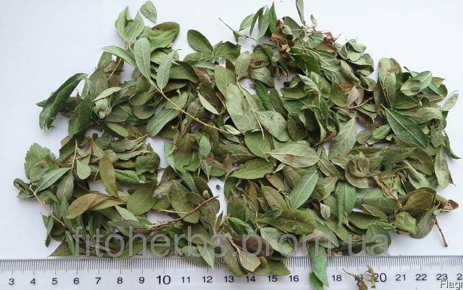 Толокнянка, лист толокнянки - Uvaeursi folium.