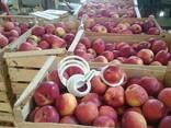 Товарне Яблуко зимових сортів - фото 2