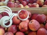Товарне Яблуко зимових сортів - фото 3