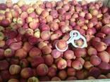 Товарне Яблуко зимових сортів - фото 5