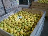 Товарне Яблуко зимових сортів - фото 7