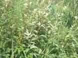 Трава таволги вязолистой (лабазника, гадючника) - фото 1