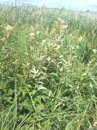 Трава таволги вязолистой (лабазника, гадючника)