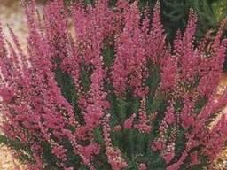 Трава вереск обыкновенный 50 грамм