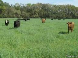 Травосмесь для пастбищ - Суміш багаторічних трав На пасовище
