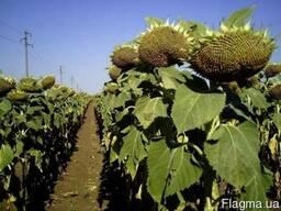 Высокоурожайные гибриды подсолнуха