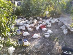 Тушки домашних кур