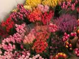 Тюльпан Польща Якість ( всі кольори) - фото 3