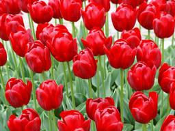Тюльпаны, рассада.
