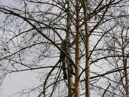Удаление дерева по частям, Чистка дуба