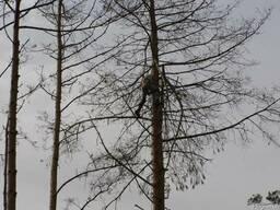 Удаление деревьев Киев чистка сухих веток