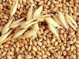 Укладемо договір на постачання жита