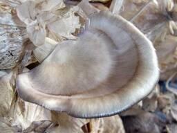 Вешенка флоридская - мицелий грибов высылаю с гарантией